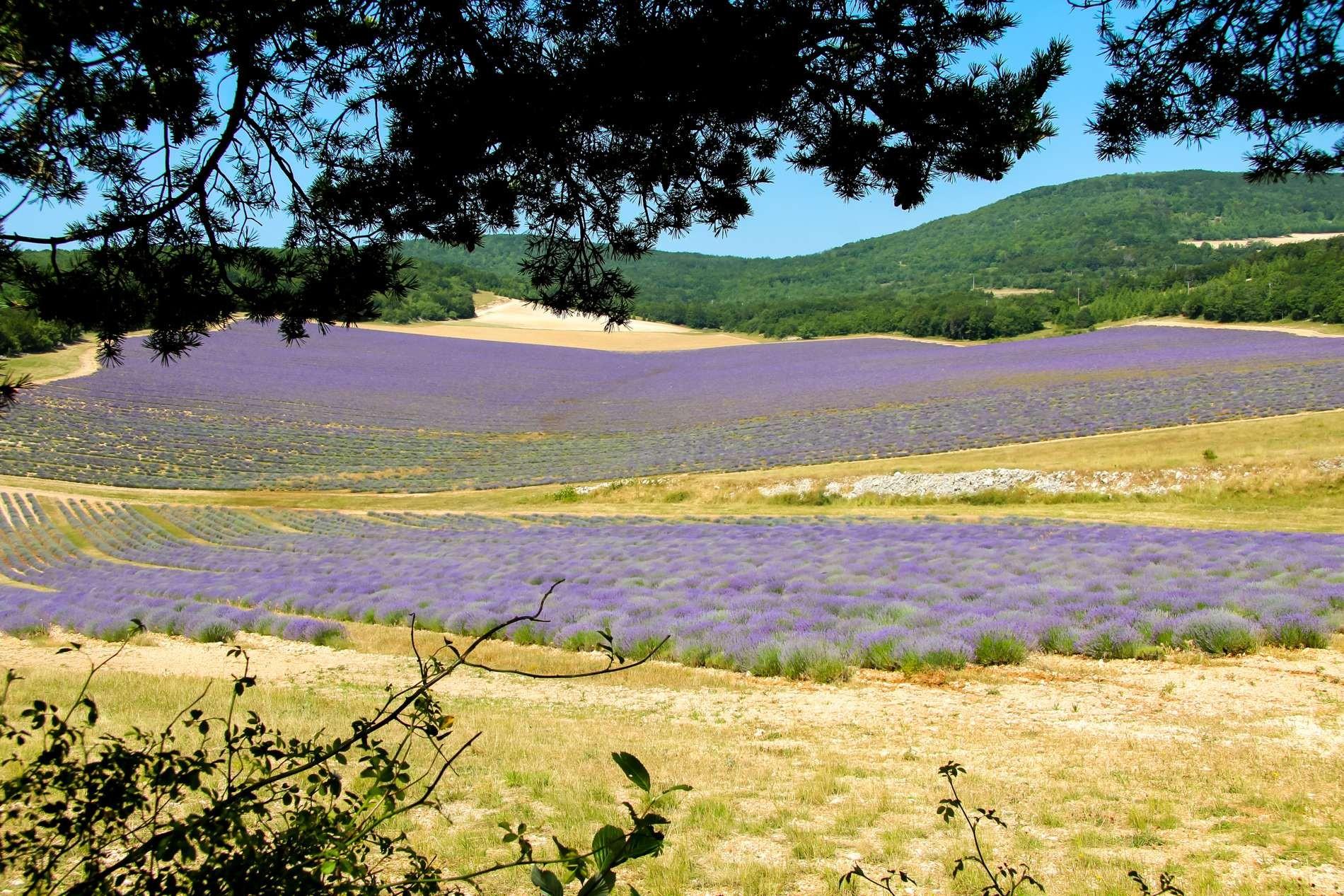 Champs de Lavande de Provence