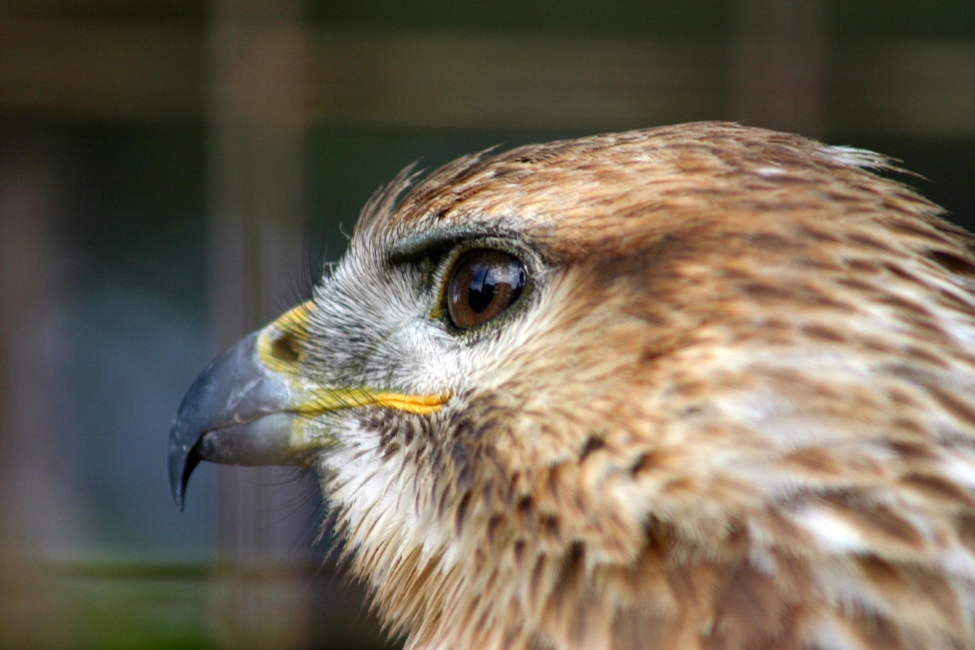 Tête d'aigle, rapace en Provence