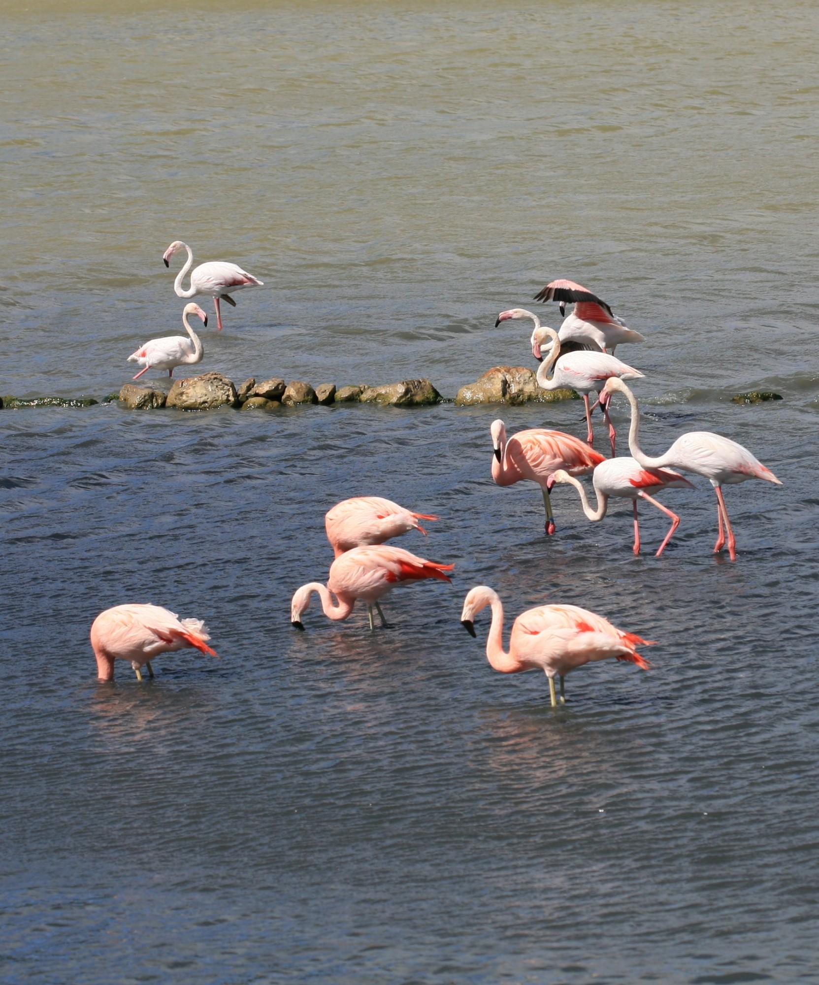 pink flamingos in Camargue