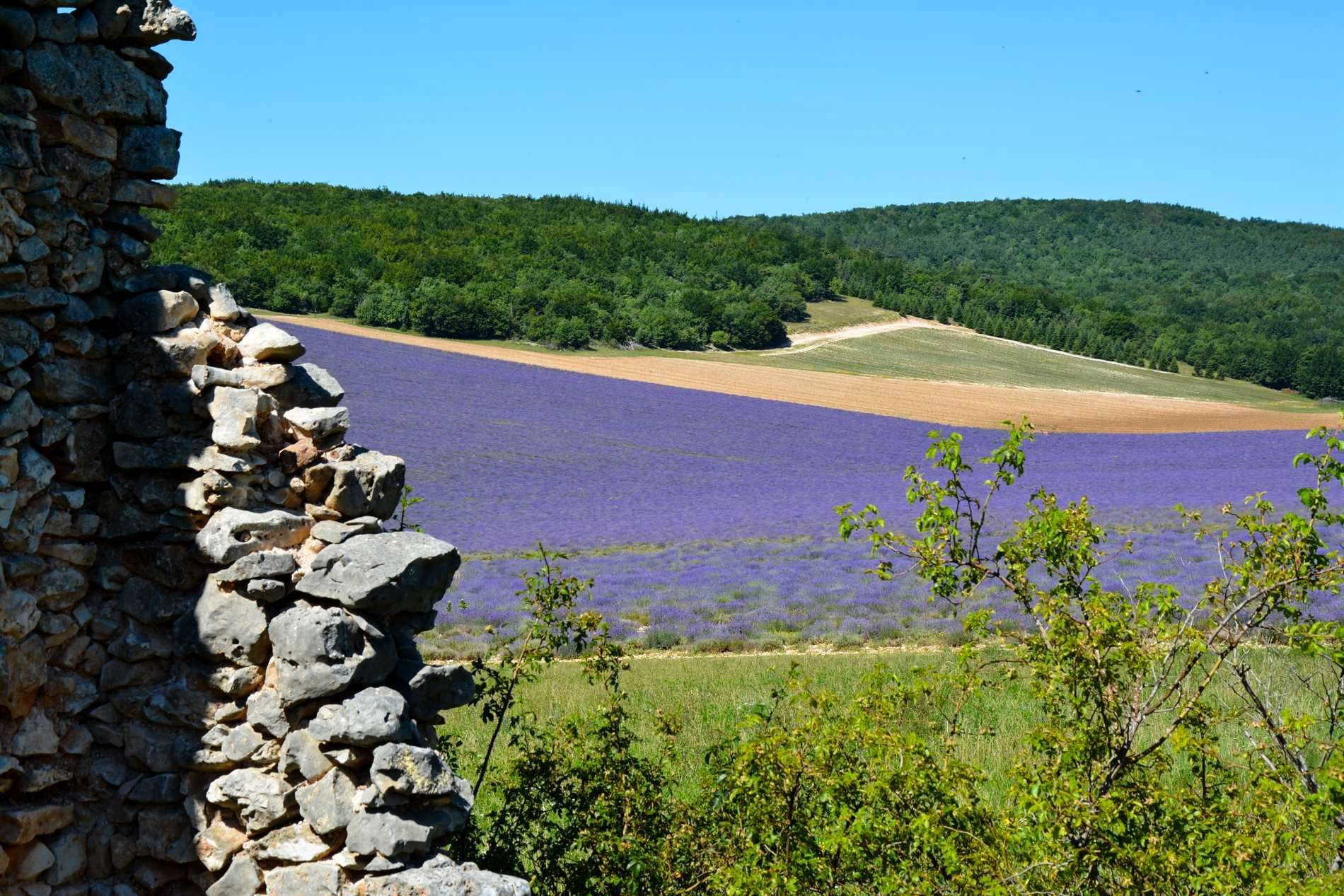 Lavender feald in Provence