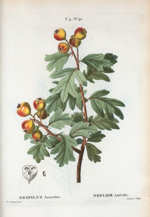 L'AZEROLIER et sa confiture, l'un des nombreux trésors de la végétation du Luberon