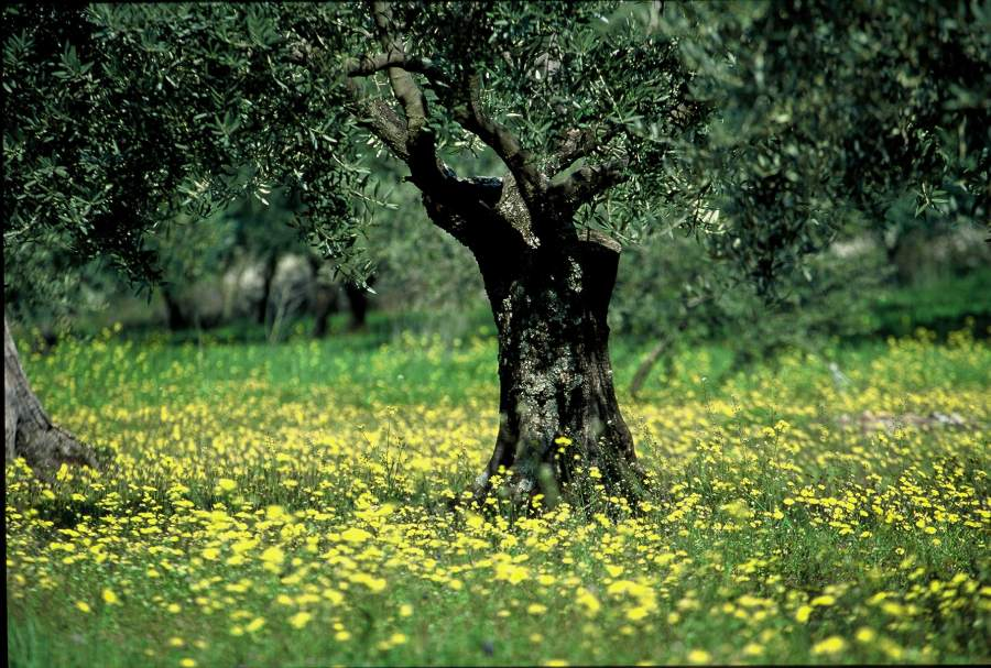 Huile d 39 olive de provence aoc agence rosier for Huile d olive salon de provence