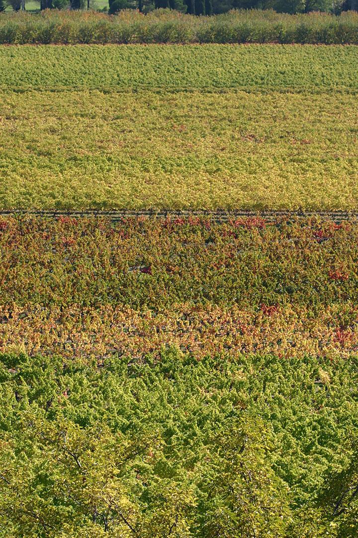 Variation de couleurs pour la vigne du Luberon