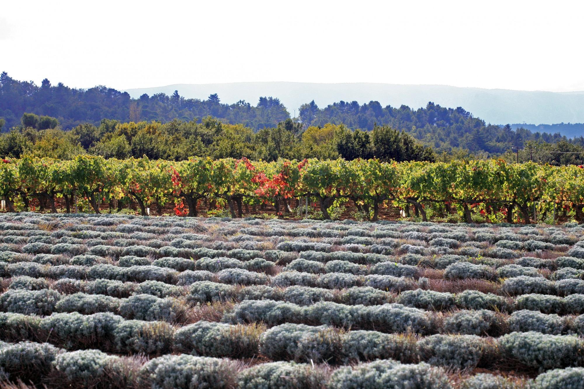 Lavande et vignes en Luberon