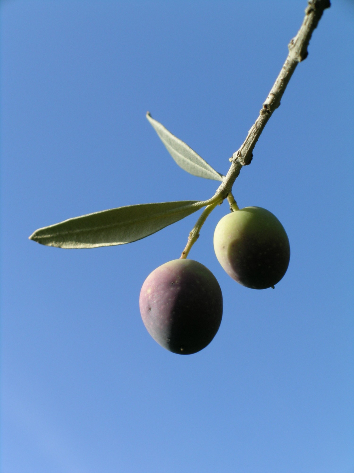 L'olive du Luberon