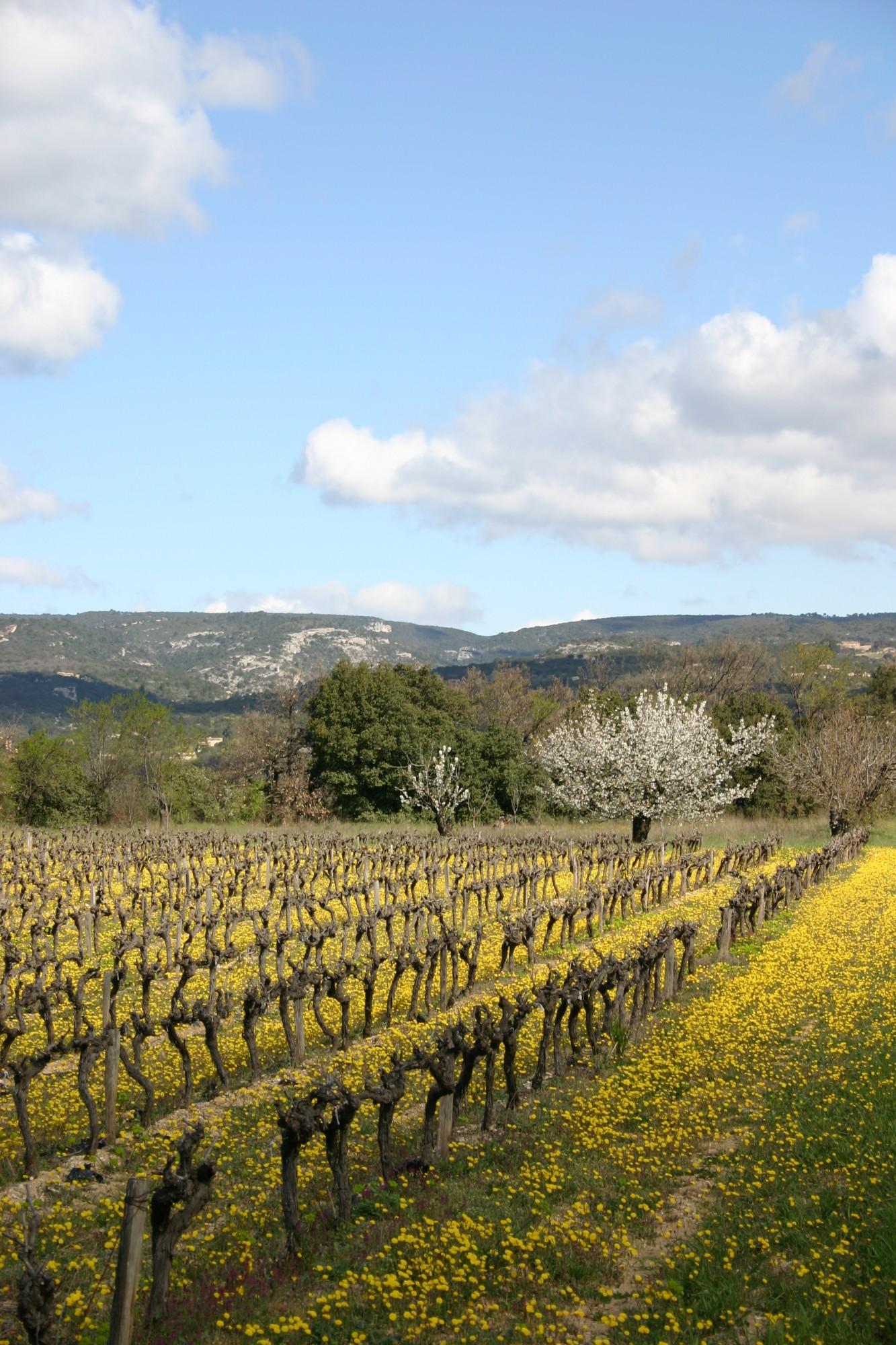 La vigne du Luberon, au coeur du triangle d'or