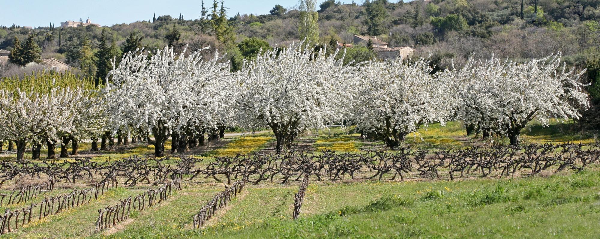Cerisiers en fleurs à Gordes, Luberon