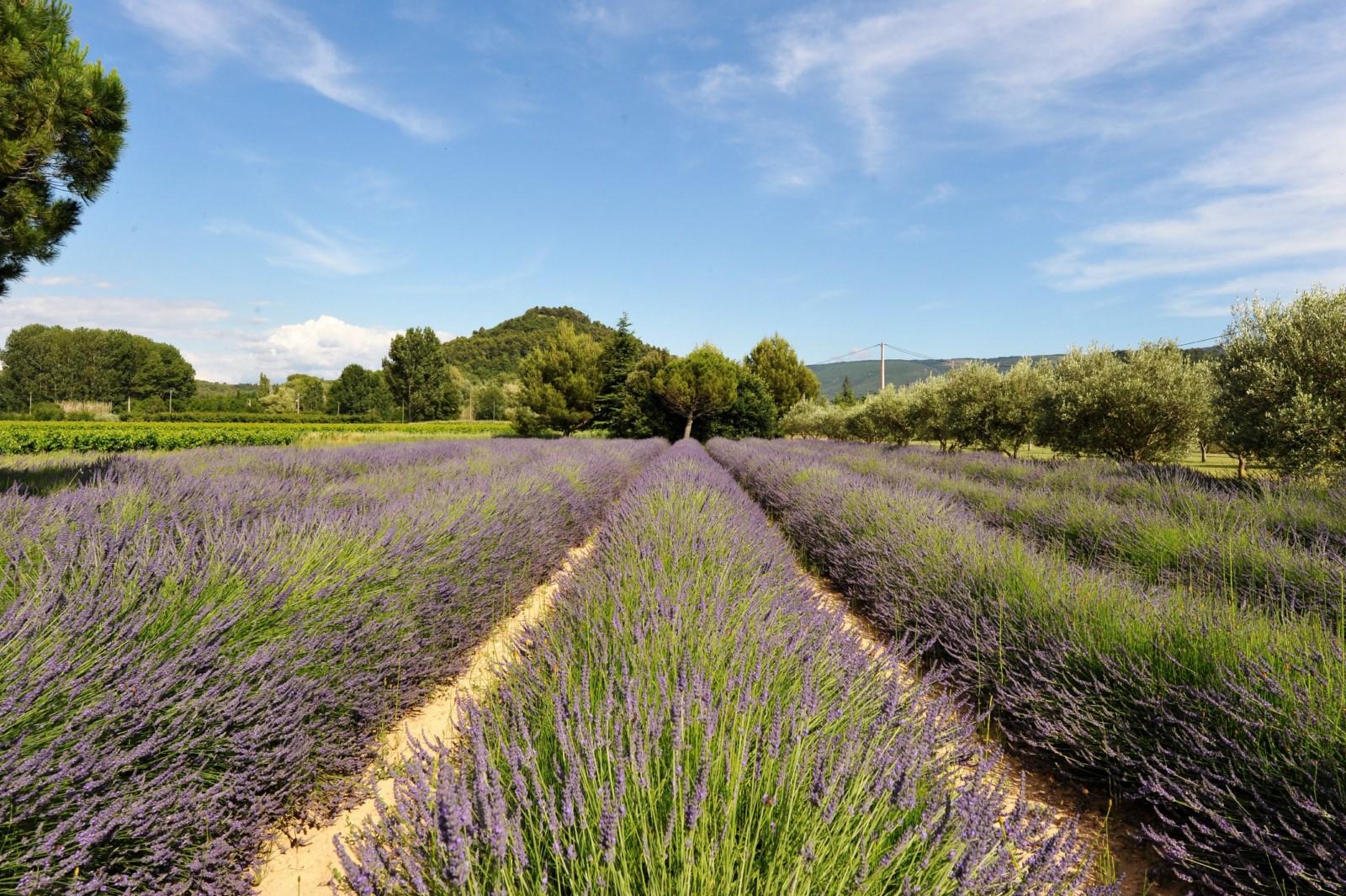 Lavandes et champs d'oliviers agrémentent cette belle demeure Provençale