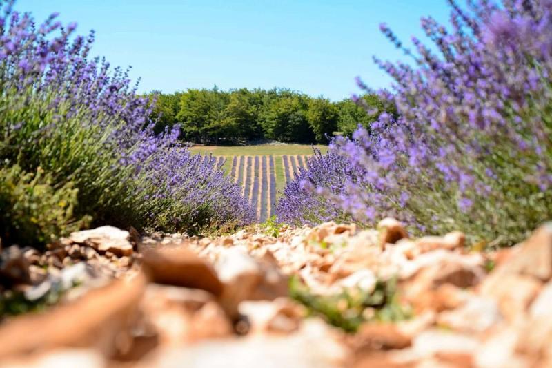 La lavande en Luberon et Provence