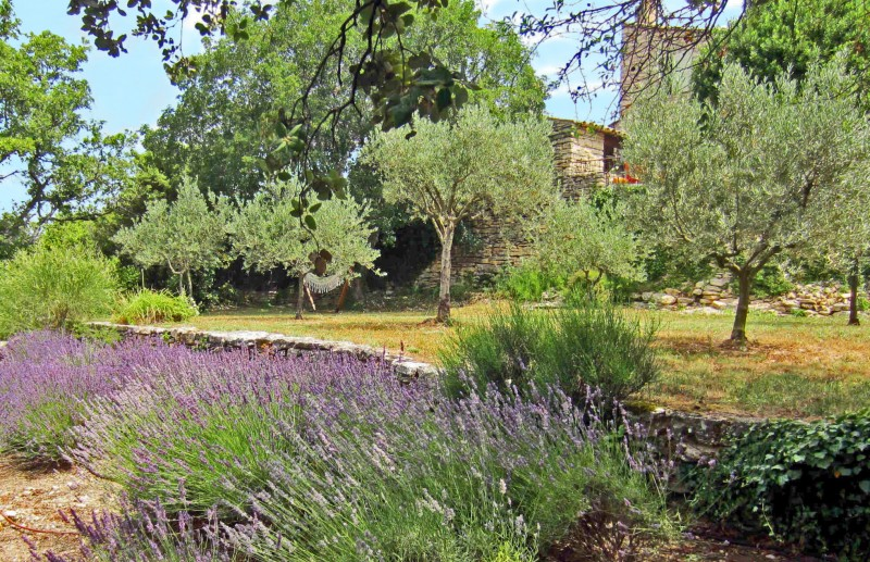Lavandes et oliviers pour ce verger à Gordes